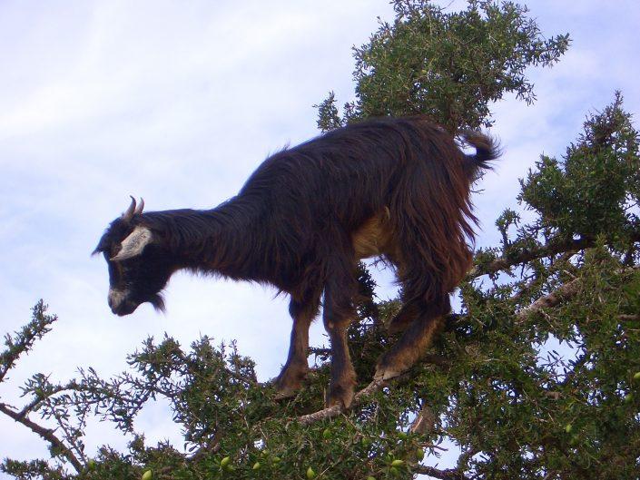 Goat Argan Tree